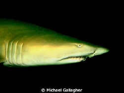 Grey Nurse Shark in the gloom, inside Fish Rock Cave off ... by Michael Gallagher