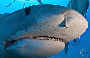 This Tiger Shark followed us from site to site following ... by Steven Anderson