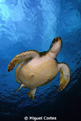 Green turtle. by Miguel Cortes