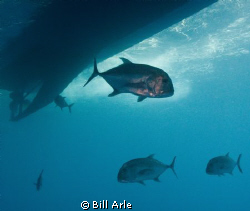 Jacks (Trevally) under the boat. Canon G10, Ikelite strob... by Bill Arle