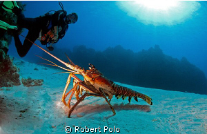 Lobster in the open, Cozumel 2010. Nikon D200, 10.5 mm by Robert Polo