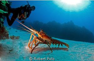 Lobster in the open, Cozumel 2010. Nikon D200, 10.5 mm by Robert Polo