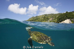 Hawksbill turtle exhaling before breaking the surface - C... by Joe Daniels