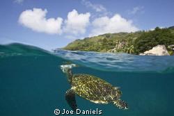 Hawksbill turtle exhaling before breaking the surface - C... by Joe Daniels