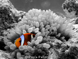 orange clownfish in a b/w world by Paola Pallocci
