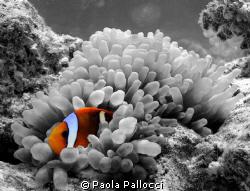 orange clownfish in a b/w world by Paola Pallocci