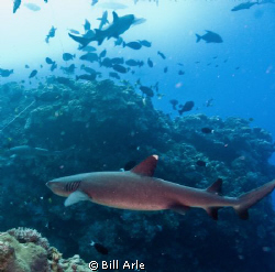 Whitetip reef shark at Osprey Reef.  Canon G-10, Ikelite ... by Bill Arle