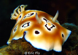 Chromodoris leopardus by Eric Fly