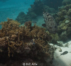 Potato cod (grouper) at the Cod Hole.  Canon G-10, Ikelit... by Bill Arle