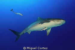 Tiger shark. by Miguel Cortes