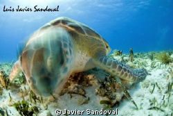 Turtle head movement trough slow shooter speed, hope you ... by Javier Sandoval