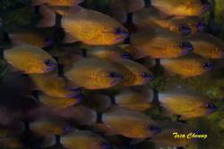 Cardinalfish @ Dumaguete   by Taco Cheung