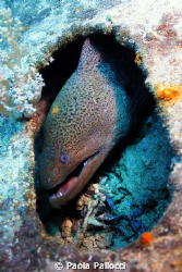 giant moray in a hole! by Paola Pallocci