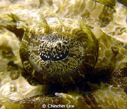 crocodilefish eye - Kapalai by Chinchin Law