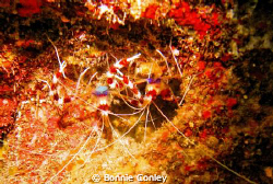 Banded Coral Shrimp seen in Grand Cayman August 2010.  Ph... by Bonnie Conley
