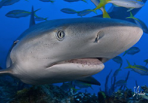 Reef Shark at El Dorado - up close - Bahamas by Steven Anderson