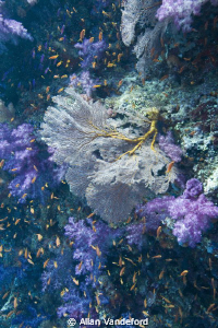 Image from Samu Reef, Fiji on the second day of the trip ... by Allan Vandeford