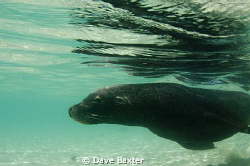 a local male sea-lion cruzing past by Dave Baxter