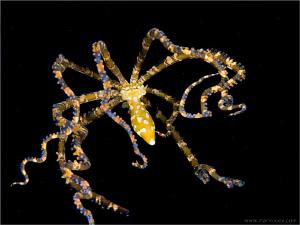 Mimic octopus by Aleksandr Marinicev