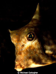 Turretfish portrait, taken whilst night diving in Komodo,... by Michael Gallagher