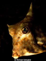 Turretfish portrait, taken whilst night diving in Komodo,... by Michael Gallagher