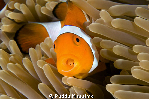 nikon d2x 60 mm macro,clownfish with parasite by Puddu Massimo