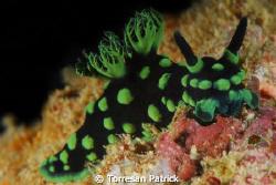 Nudibranch by Torresan Patrick