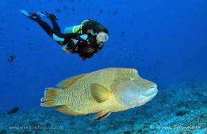 Diver with napoleon. Nikon D2Xs, Nikon Zoom 12-24 / Seaca... by Frank Schneider