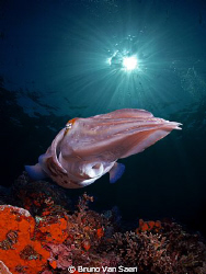 Big cuttle fish by Bruno Van Saen
