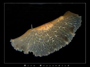 Flying Flatworm by Rico Besserdich