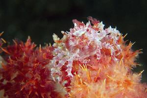 Soft coral crab. Tulamben, Bali by Doug Anderson