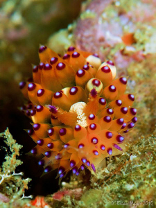 Janolus sp. nudibranch at Torpedo Alley, Rinca by Brian Mayes
