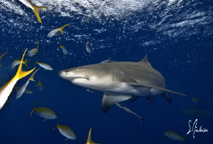 This image of a Lemon Shark was taken while on a safety s... by Steven Anderson