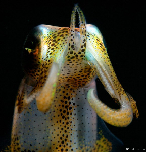 """don't come any closer !"" Juvenile squid ( 8 cm ) shows m... by Rico Besserdich"