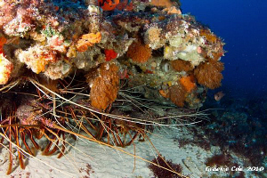 Some of our Western Rock Lobster waiting for the season t... by Graeme Cole