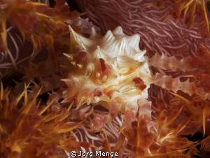 Dendronephthya Crab - Hoplophrys oatesii - Schleierbäumch... by Jörg Menge