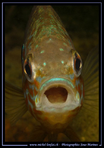 A Pumpkinseed, common sunfish jawning.. Que du bonheur...... by Michel Lonfat