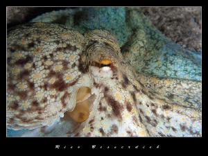 "Octopus vulgaris ( common octopus ) spreading his ""wings""... by Rico Besserdich"