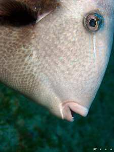 Triggerfish face ;-) by Rico Besserdich