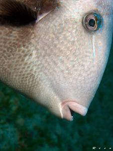 Triggerfish face ;-) by Rico Besserdich