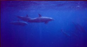 Dolphins MMII EX  YS 60 Red sea by Hilal Uysal