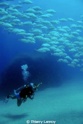 School of snappers with my friend Erendira, in Las Casita... by Thierry Lannoy