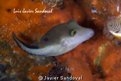 Puffer !!!! by Javier Sandoval