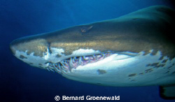 Close encounter with friendly shark by Bernard Groenewald