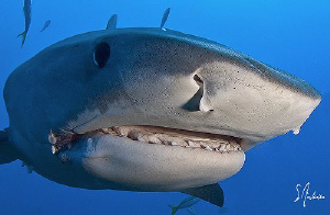 The curious Tiger Shark! We had fun with three of them at... by Steven Anderson