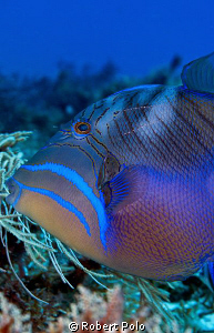 Queen triggerfish. Cozumel. D200, 60mm by Robert Polo