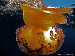 Jellyfish (Cotylorhiza tuberculata) by Bea & Stef Primatesta