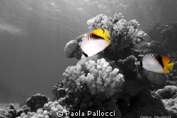 two butterflyfish from Red Sea by Paola Pallocci
