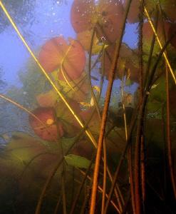 ..waterlilies by Veronika Matějková