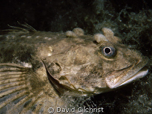 Four Horned sculpin sp. Resolute Bay, Nunuvat. by David Gilchrist
